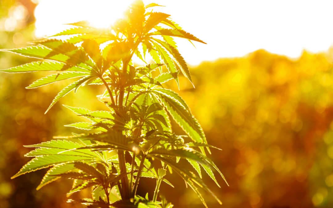 L'absorption de la lumière par la plante